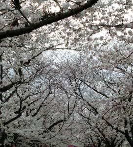4.5桜並木